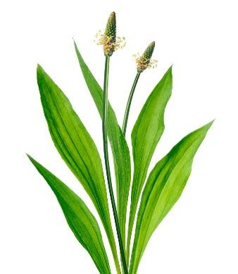 9 Sacred Herbs Series – No.1  Lanceleaf Plantain